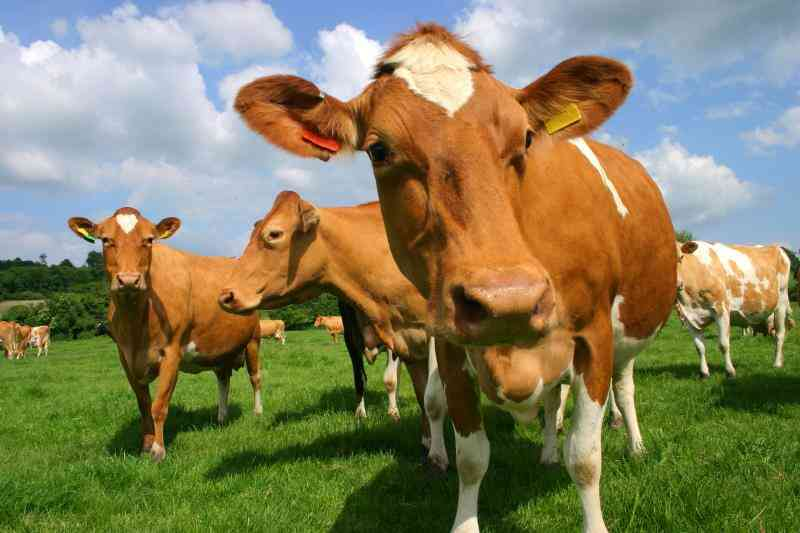 How to Start a Dairy Farm