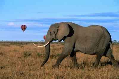 Wie man einen Elefanten-Stoßzahn