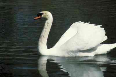 Wie man einen Pappmaché-Swan Bird