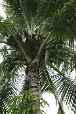 Wie man eine Matte Mit Kokos-Blätter