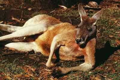 Wie man ein Känguru Maske