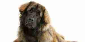 Behandeln Hunde Hüftgelenksdysplasie